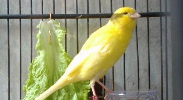burung pemakan biji bijian
