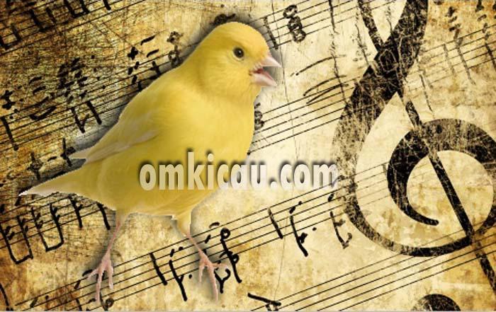 Kombinasi suara kenari dengan suara musik