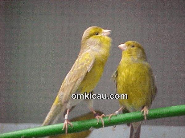 Membuat cede untuk burung kenari