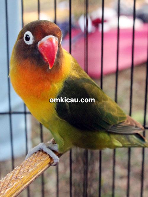 Lovebird Olivia