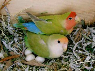 Lovebird sembunyikan telur