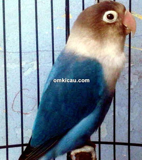 Lovebird Tasaka milik Anto Bintaro