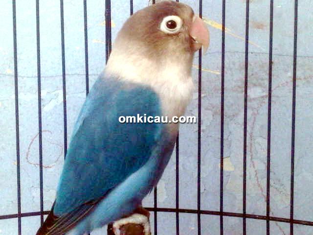 Lovebird Tasaka