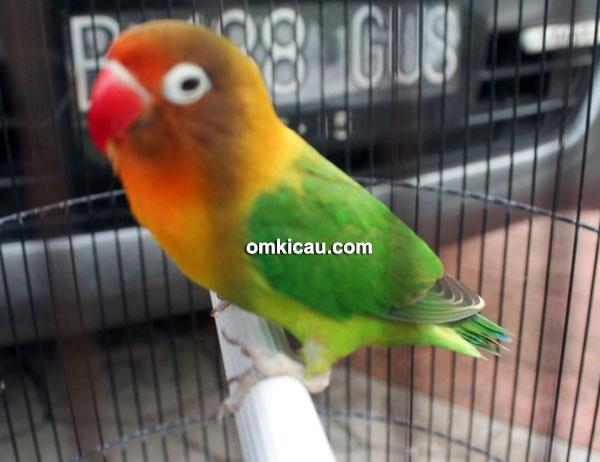 Lovebird Unique