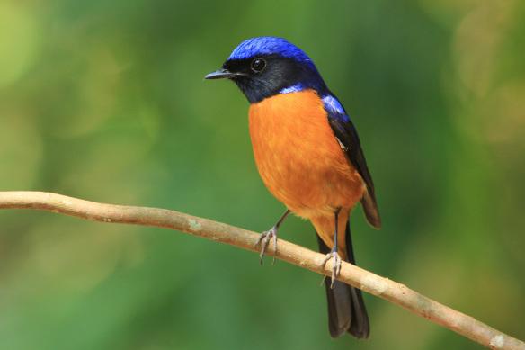 Burung niltava sumatera atau Rufous-vented niltava (Niltava sumatrana)