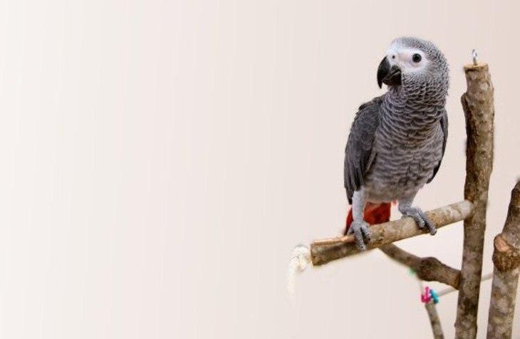 Tips dan trik melatih burung nuri abu afrika