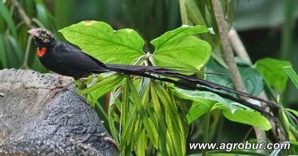 Paradise whydah di musim kawin