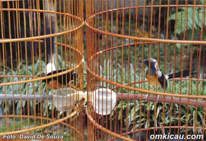 Perjodohan burung
