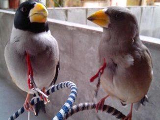 jantan betina burung blacktail hawfinch