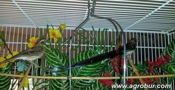 Sepasang long-tiled paradise whydah.