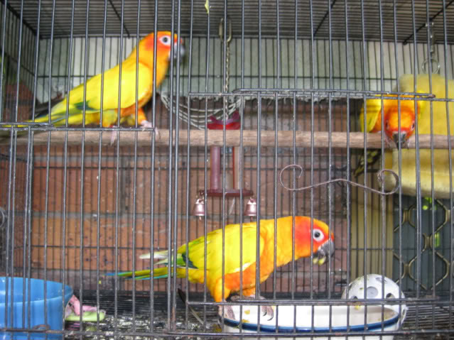 cara merawat burung sun conure