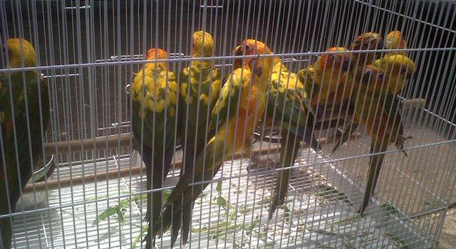 Banyak penangkar sun conure di Indonesia yang menjual hasil tangkarannya