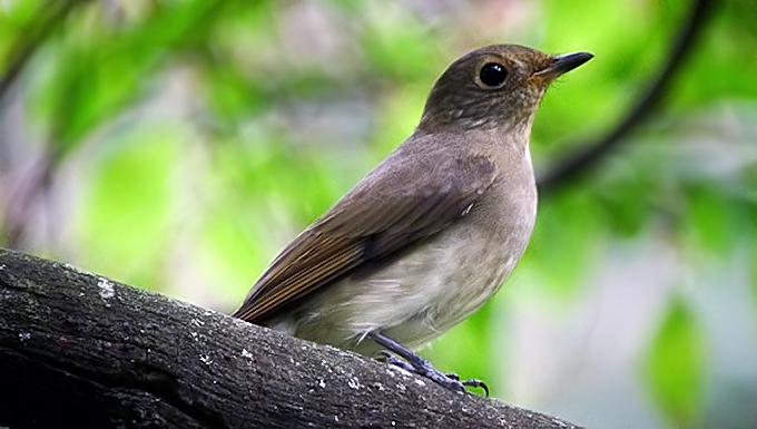 Suara burung betina