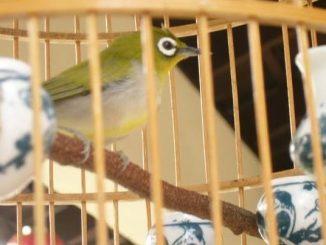 cara membersihkan tempat makan dan minum burung