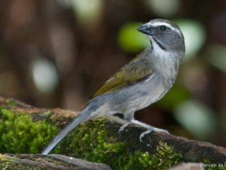 Buff-throated saltator atau Trinca ferro burung peliharaan favorit di Brazil