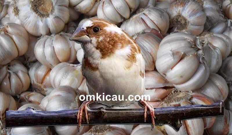 Beberapa Khasiat Bawang Putih Untuk Burung Kicauan Om Kicau