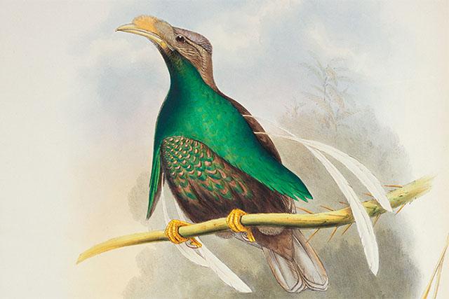 Burung bidadari halmahera (Semioptera wallacii)