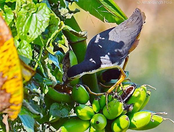 burung ruak ruak