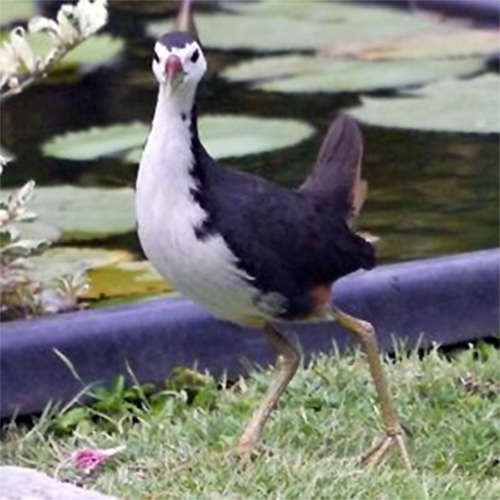burung ruak ruak4