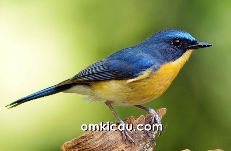 Tledekan gunung burung yang bersifat teritorial