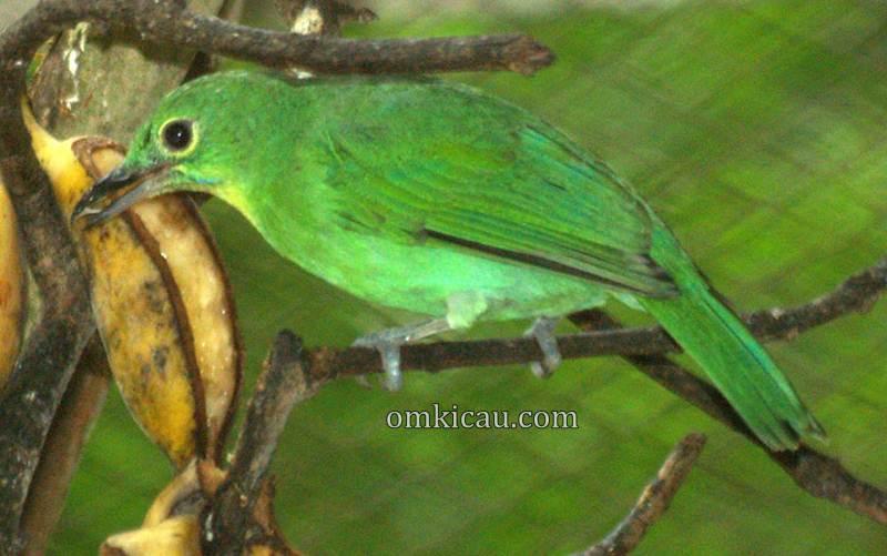 Cucak hijau betina