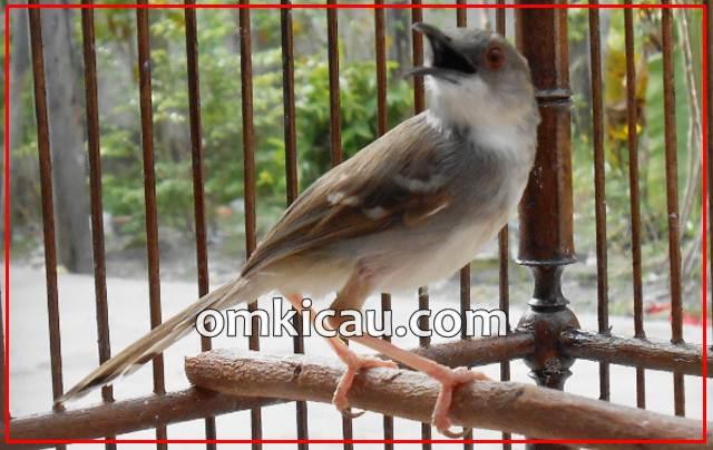Burung ciblek rentan mengalami over birahi