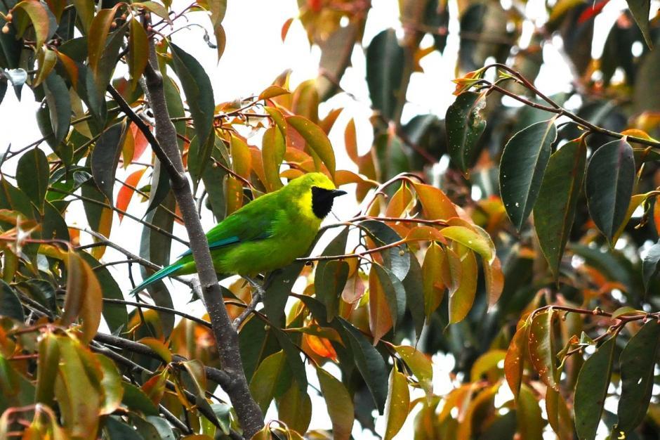 Cica daun kalimantan yang hanya bisa ditemukan di Kalimantan