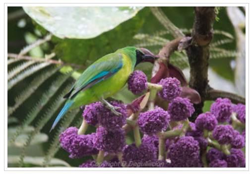 Burung cica daun kalimantan betina yang memiliki penampilan mirip burung jantan