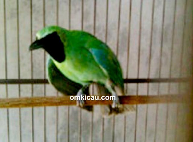 cucak hijau sing a song