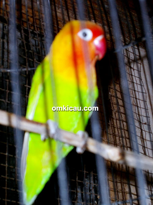 Duwox, lovebird kepala emas