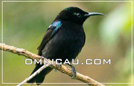 Feat burung madu hitam