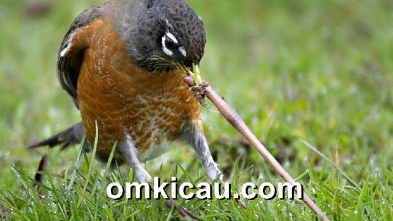 Merawat Cacing Tanah Untuk Pakan Burung Kicauan Om Kicau