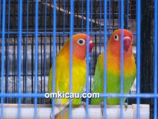Pasangan induk paskun dan pasjo