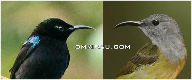 jantan betina burung madu hitam