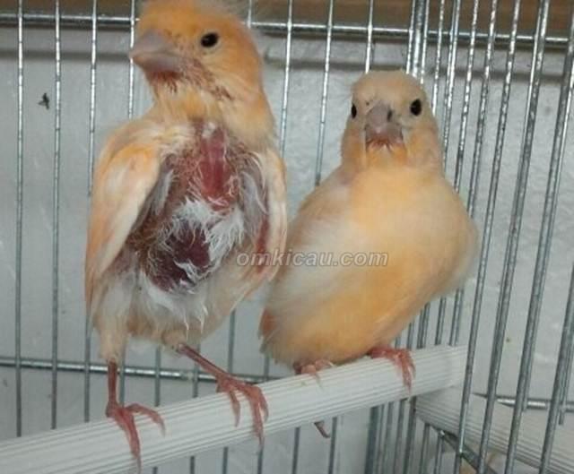 Ilustrasi kenari yang sering mencabuti bulu-bulu halus di dad dan perutnya ketika ditangkarkan