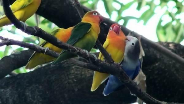 Burung lovebird adalah burung koloni