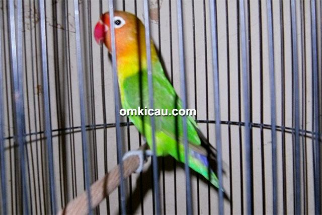 Lovebird Latu Konsina