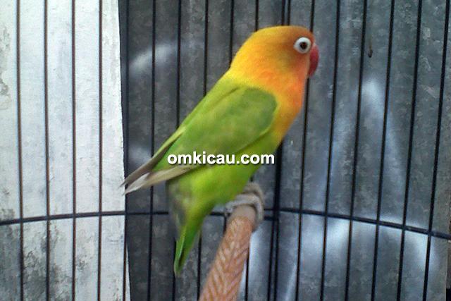 Lovebird Painem