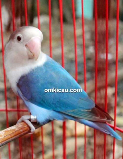 Lovebird Susan milik Om Jefry
