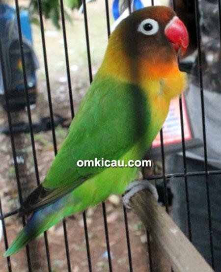 Lovebird Venus Jr