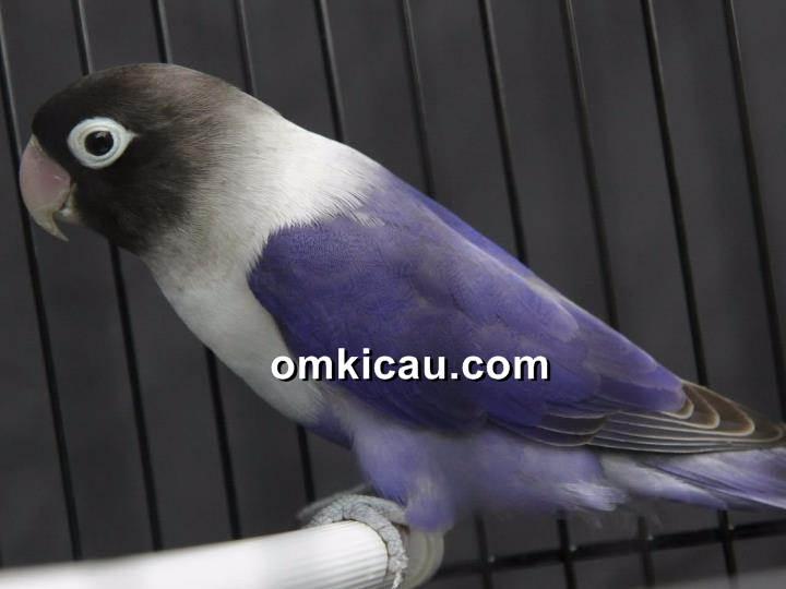 Burung lovebird yang rentan alami over birahi