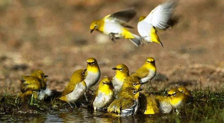Pleci sangat suka mandi bareng burung pleci lainnya