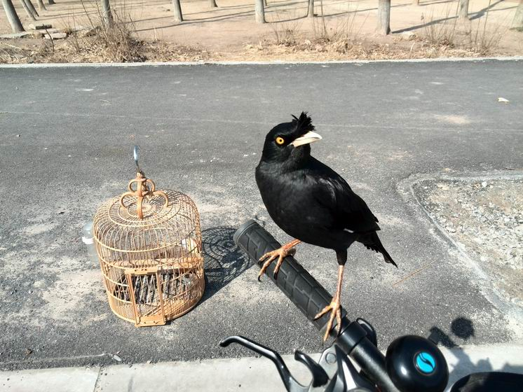 Melatih burung jalak di luar ruangan