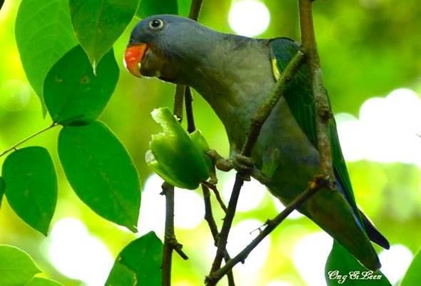 Burung yang memakan buah belimbing