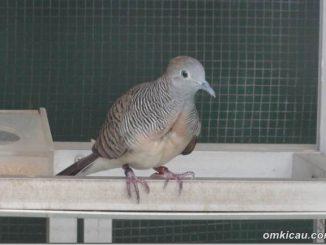 download suara burung perkutut