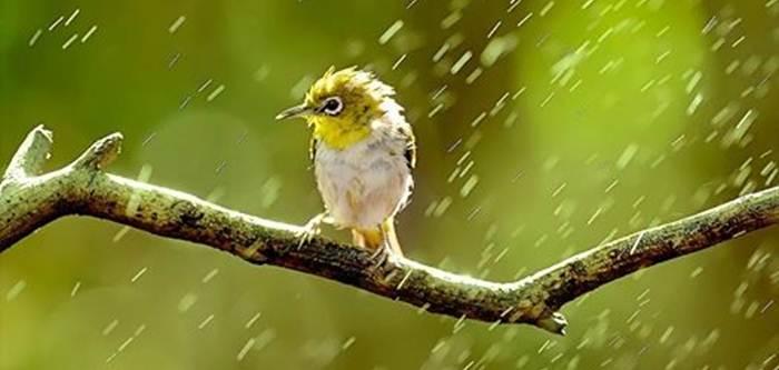 Pleci hujan-hujanan