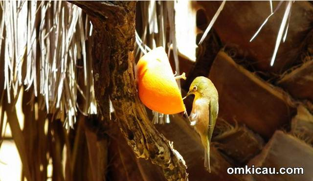 Pleci makan jeruk