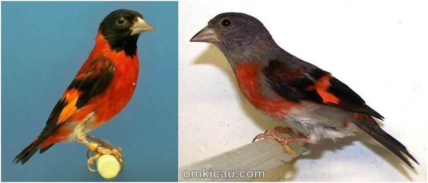 Panduan Awal Penangkaran Burung Siskin Merah Om Kicau