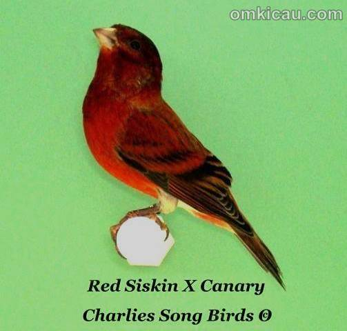 Panduan Awal Penangkaran Burung Siskin Merah