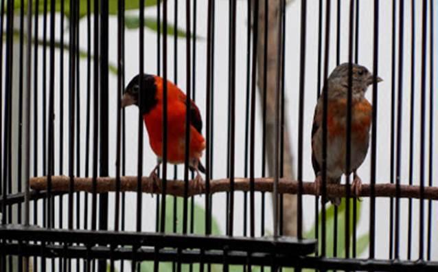 Red siskin atau siskin merah